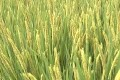 袁隆平:超级稻亩产有望突破1200公斤