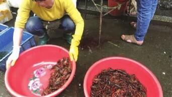 """长沙小龙虾卖出7元一斤""""跳水""""价"""