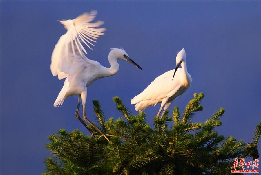 生态变美 鹭鸟欢歌