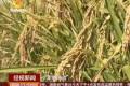 袁隆平团队迪拜沙漠种水稻 亩产520公斤