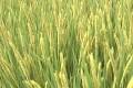 袁隆平:超級稻畝產有望突破1200公斤