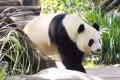 卧龙保护区8只大熊猫将落户湘西凤凰