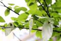 """4月春雨一直下 """"活化石""""珙桐树意外开花"""