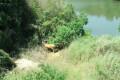 岳阳县:洞庭湖水位上涨 麋鹿涌入沿线堤垸