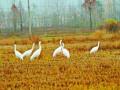 环保志愿者和3只鹤的故事