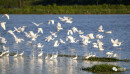 数万只白鹭起舞东古湖湿地尽显生态之美