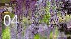湖湘自然历丨辞春迎夏,一帘紫色幽梦