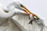 饥饿白鹭空中抢鱼