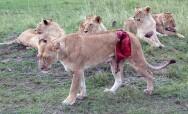母狮与公牛搏斗遭严重戳伤