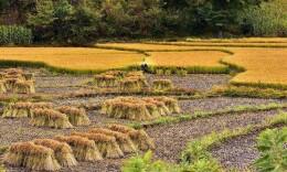今年全国粮食总产量65789万吨 有所下降但仍是丰收年景