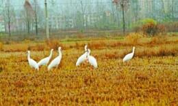 深读 环保志愿者和3只鹤的故事:野鹤无粮天地宽