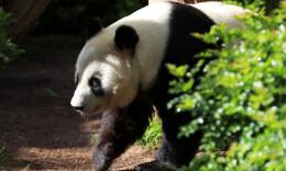 一座美国城市与两只大熊猫的告别