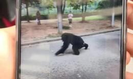 出逃黑猩猩被圍堵抓回,合肥野生動物園:它抓著竹子跳出來的
