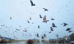放飛的7萬羽信鴿回家了嗎?