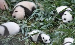 2019大熊猫最新数据发布,全球圈养大熊猫数量达600只