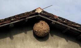 这个黄蜂窝比篮球还大,你觉得可以吃几餐