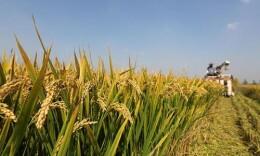 湖南獲批建設國家耐鹽堿水稻技術創新中心 為全國農業領域首批