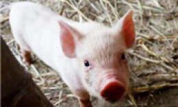 猪肉跌向10元一斤!养猪户:再跌亏大发了