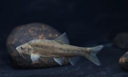 湘江新发现3种洞穴鱼 丰富了湖南鱼类种质资源