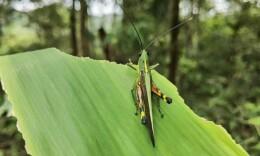 云南勐腊县发生蝗灾受灾面积达1214亩 为境内虫源