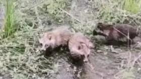 洞庭湖區域首次發現野生貉!