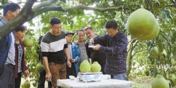 香柚丰收 柚园评选