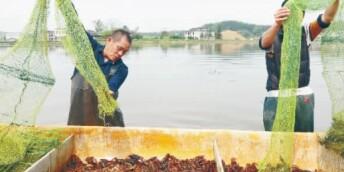 稻田養蝦 促增收