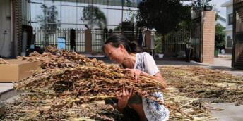 醴陵市:芝麻熟了,农妇笑了
