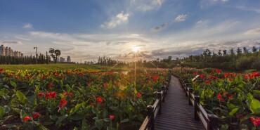 摄在长沙:湿地花海美如画