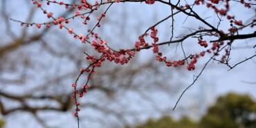摄在长沙:橘子洲头 红梅迎春