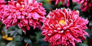 摄在长沙:那时秋菊盛开