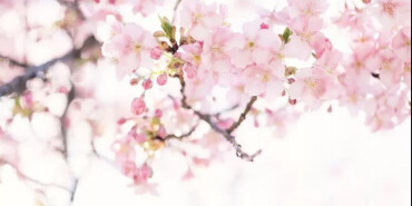 去武汉看樱花? 长沙这些粉色花海美上天