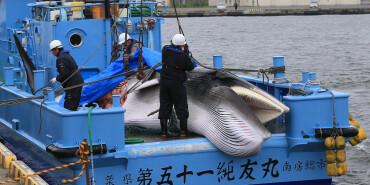 日本重啟商業捕鯨