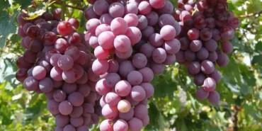长沙周边葡萄采摘地图 凉爽9月才是采葡萄最适合的时节