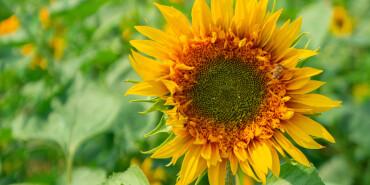 省植物园里15万株向日葵开花了 这一片花海绝对值得你打卡!