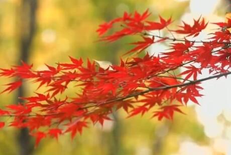 长沙的枫叶红了