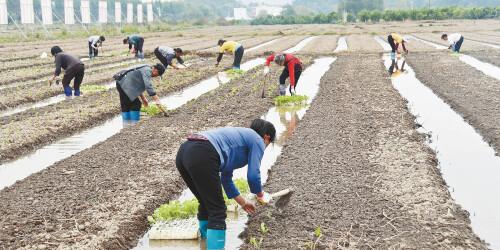 冬種蔬菜 富(fu)民增(zeng)收