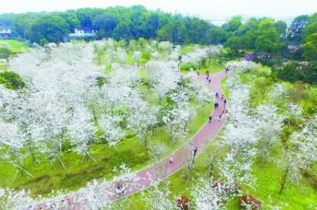 樱花如霞春似海