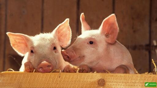 养猪人的烦恼:早卖舍不得 晚卖怕赔了