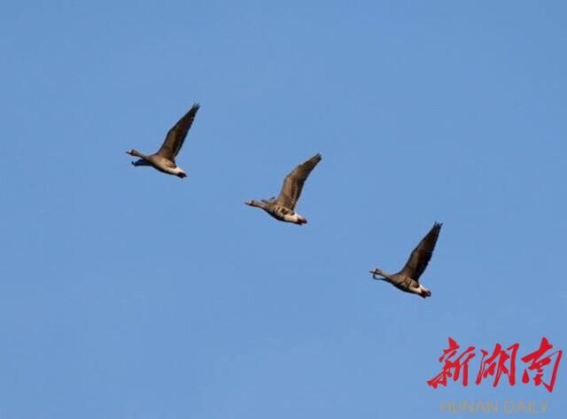 [岳阳] 教授想挖老鼠洞——中国鸟人首次出境护鸟记事(8)