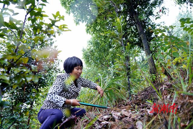 【湖南日報】紅豆杉,黃豆醬,靠山吃山
