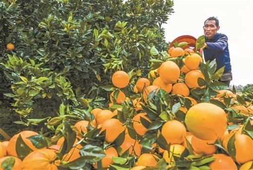 脐橙丰收果农乐
