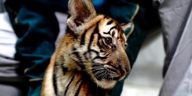 """上海动物园:华南虎""""上户口"""""""