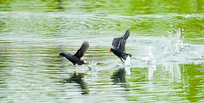松雅湖国家湿地公园鸟儿欢快嬉戏