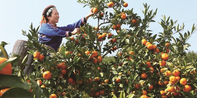 柑橘盈枝果农乐