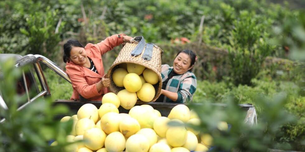 贵州赤水:蜜柚丰收